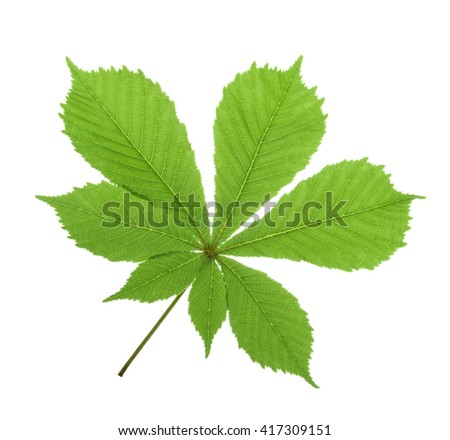 Horse-chestnut (Aesculus hippocastanum, Conker tree) leaf isolated. without shadow - stock photo