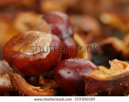 horse chestnut buckeye conker outside in the wood - stock photo
