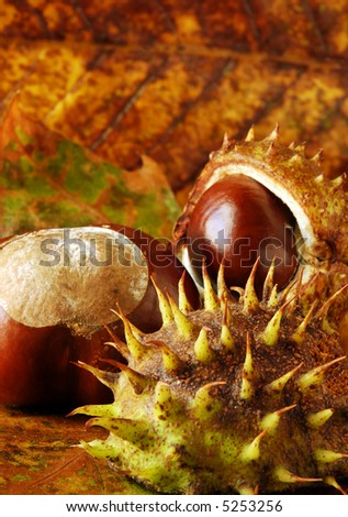 horse chestnut / conkers arranged on autumn leaves - stock photo