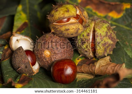 Horse chestnut conkers on Autumn leaves - stock photo
