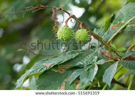 Horse-chestnut twig, Aesculus hippocastanum with fruits