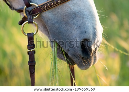horse close-up with mouth full of grass - stock photo