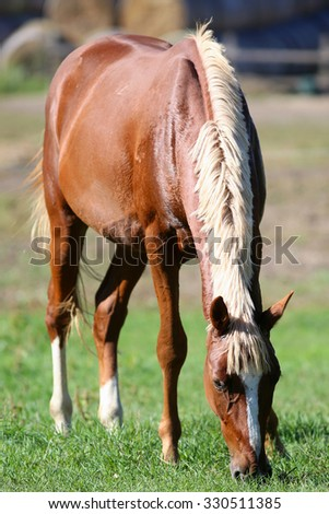 Horse eating fresh green grass on the meadow summertime. Beautiful young stallion grazing on summer pasture  - stock photo