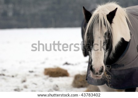 horse eating hay in a snow covered paddock (one of a series of pictures featuring cattle and horses in snow) - stock photo