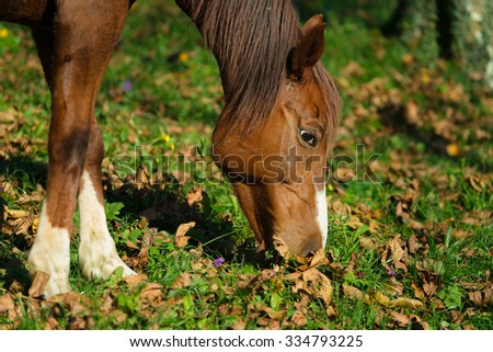Horse eating in a meadow of leaves
