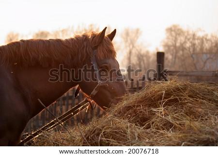 Horse eats hay - stock photo