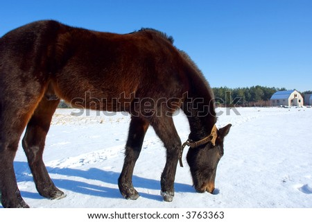 Horse eats snow on winter field in front of house. Shot in Poltavska region, Ukraine. - stock photo