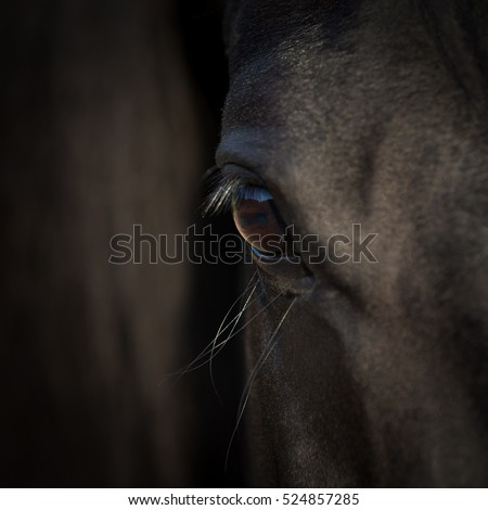 Horse eye closeup. Arabian black horse head. Horse detail on dark background. Square photo.