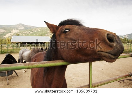 Horse Face. In a corral, a horse takes a good look at the photographer and gives him the evil eye. - stock photo