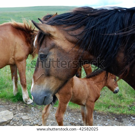 Horse family pastures in the mountains. A stud, a mare and their foal - stock photo