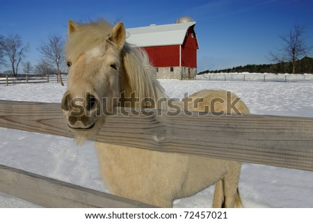 Horse Farm in Winter:  A white pony peers over the fence from a snowy barnyard. - stock photo
