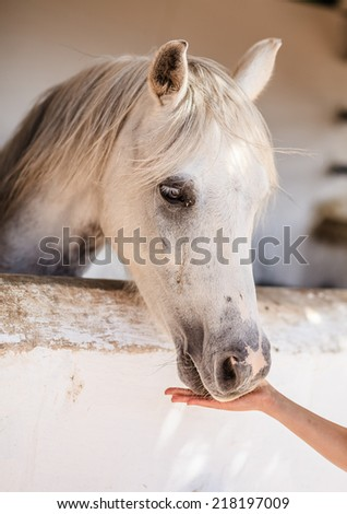 Horse fed by a woman hand in the stable - stock photo