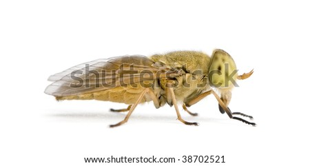 Horse-fly, Atylotus rusticus, against white background, studio shot - stock photo