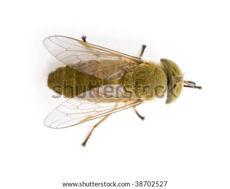 Horse-fly, Atylotus rusticus, against white background, studio shot - stock photo
