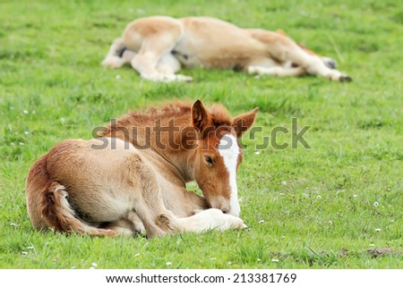 Horse foal lying on the green grass - stock photo