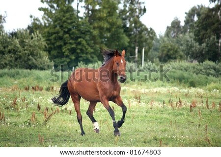 Horse galloping at the field - stock photo