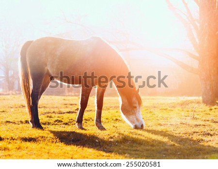 horse grazes on pasture at sunset - stock photo