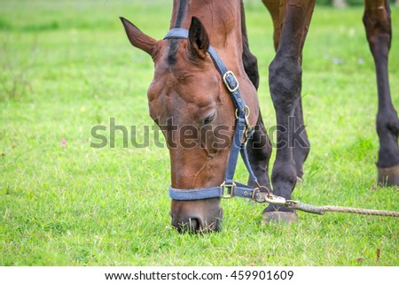 Horse grazing and chewing on grass.