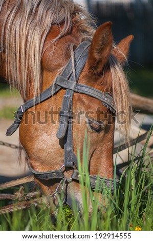 Horse grazing in a field close up. - stock photo