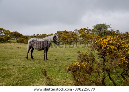 horse grazing in the moorland Minions, Cornwall, England, United Kingdom