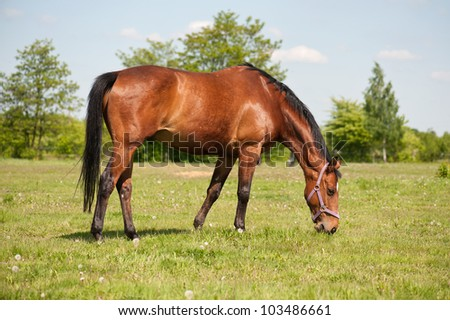 Horse grazing in the pasture - stock photo