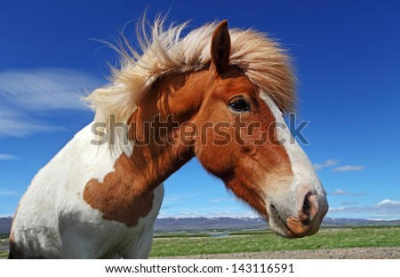 Horse head in Iceland - stock photo