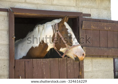 Horse head outside of the stable. Stallion with blue eyes in the barn - stock photo