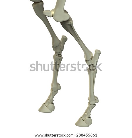 Horse Hind Leg Bones Anatomy - isolated on white