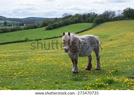 Horse in Belgium meadow covered with yellow dandelions - stock photo