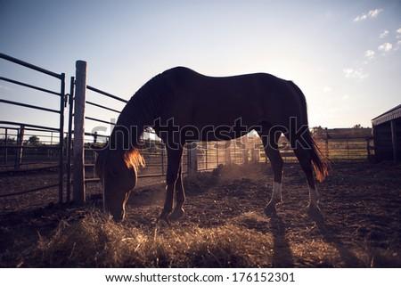 Horse in North Dakota, Horse eats - stock photo