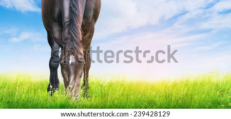 horse is grazed on sunny meadow , banner for website - stock photo