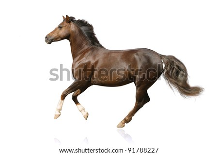 horse isolated galloping - stock photo