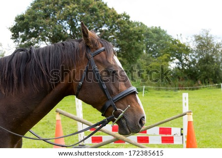 Horse jumping-bored looking horse stands waiting for her turn to jump, with jumps shown in the background. - stock photo