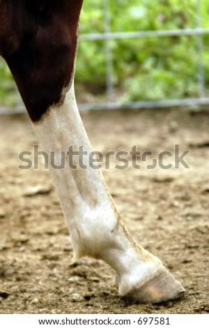 horse leg - stock photo