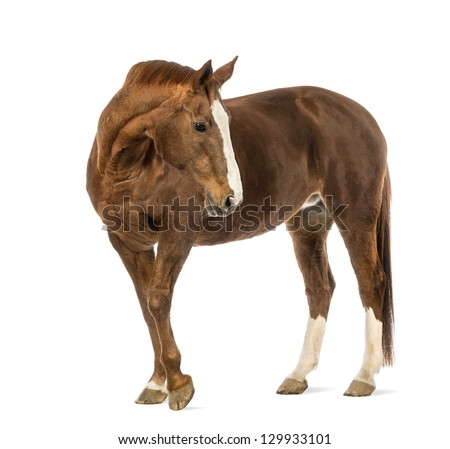 Horse looking back in front of white background - stock photo