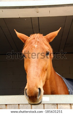 Horse looking from the box - stock photo