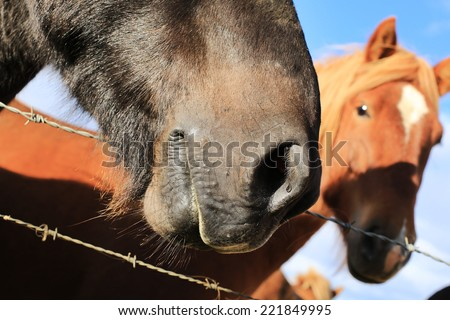 horse love, brow and black,face, Iceland - stock photo