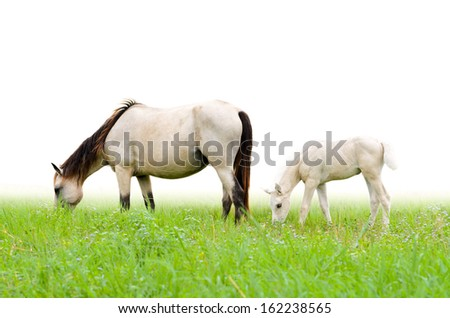 Horse mare and foal in a field of grass on white background