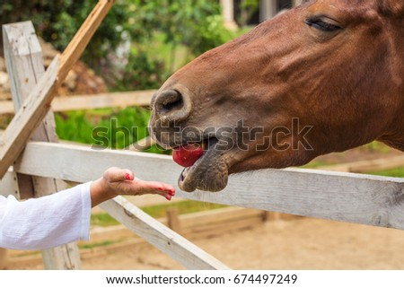 Horse, muzzle close-up. A woman's hand gives the animal an apple. The horse is bay, standing in a pen.