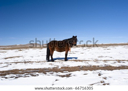 Horse on snow. Tagong Grasslands, Sichuan Province, China