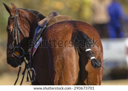 Horse Polo Polo equestrian horse pony rear tail saddle - stock photo