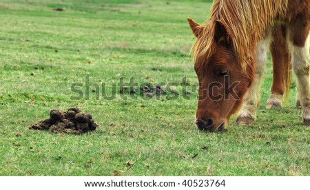 Horse pony eating grass right next to some feces. - stock photo