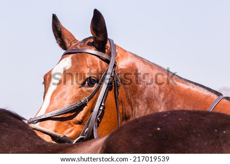 Horse Portrait Closeup  Polo horse ponies closeup abstract portrait animal detail  - stock photo