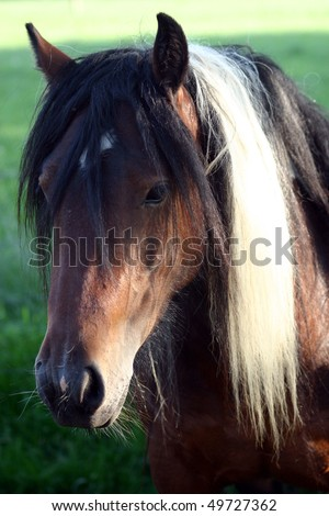 "horse portrait,  ""Gipsy vanner"", ""Irish Cob"" - stock photo"