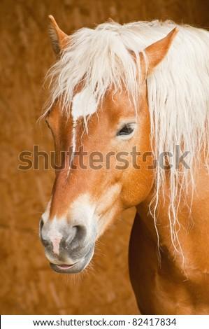 Horse portrait - Haflinger mare - stock photo