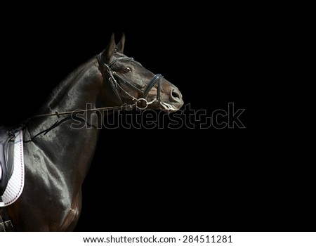 horse portrait in bridle ready to start on competition against black background