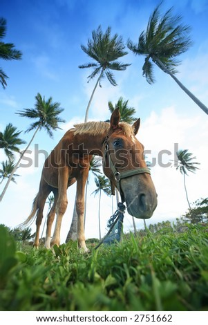 Horse - Puerto Plata - Caribbean - island - stock photo
