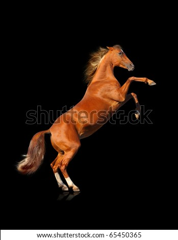horse rears isolated - stock photo