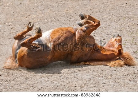 Horse rolling in the dirt scratching itself - stock photo