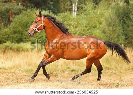 Horse running free in summer landscape. - stock photo